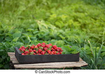 Fresh strawberries in wooden box in a field. Crate of freshly picked strawberries