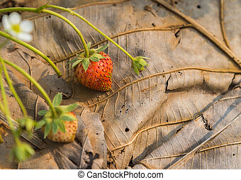 Fresh strawberry bush on dried leave with the morning light...
