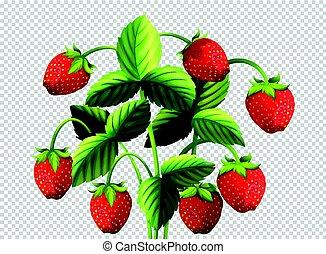 Fresh strawberry bush on transparent background