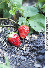 fresh strawberry fruit with green leaves