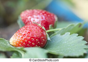 fresh strawberry in the garden