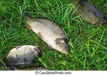 Fresh sturgeon fish and carp on green grass