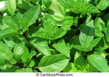 Fresh sweet cinnamon basil