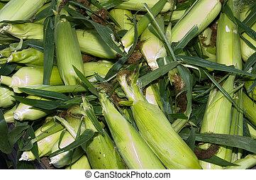 Fresh sweet corn in the husk on display - Freshly harvested ...