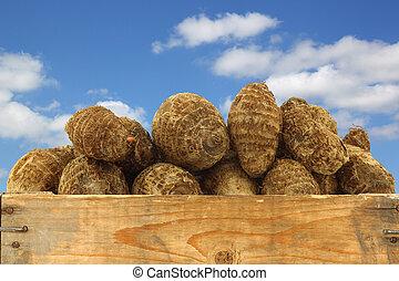 fresh taro roots (colocasia)