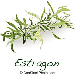 fresh tarragon herb vector isolated on a white background