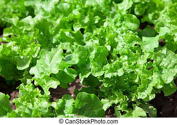 fresh tasty salad on field. lettuce plantation