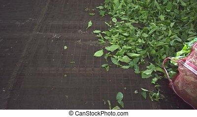Fresh Tea Leaves on a Drying Rack in Sri Lanka. Video 1080p...