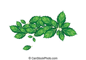 Fresh Thai Basil Leaves on White Background - Vegetable and...