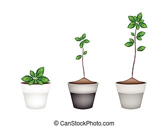 Fresh Thai Basil Plant in Ceramic Flower Pots - Vegetable...