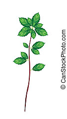 Fresh Thai Basil Plant on White Background - Vegetable and...