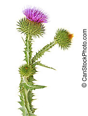 Fresh thistle flowers isolated on a white background