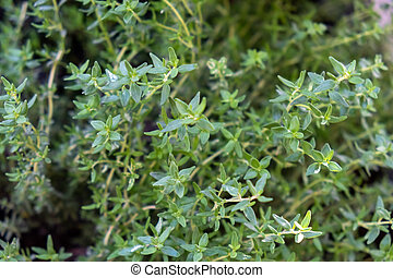 Fresh thyme background. Thymus aromatic evergreen plant healthy perennial herb, antioxidant activity. Condiment cuisine aromatherapy, bronchitis colic stomach pain sore throat, massage oil.