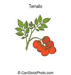 Fresh tomato branch