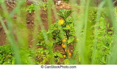 organic garden in mauritius - fresh tomato from organic...