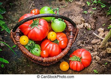 Fresh tomatoes in greenhouse