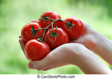 Fresh tomatoes in hands of gardener