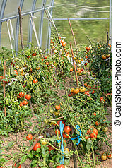 fresh tomatoes in the garden in a sunny day. organic tomatoes in greenhouse. Vegetable Growing concept