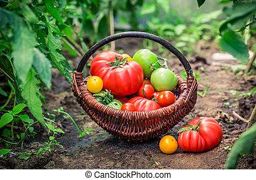 Fresh tomatoes in wicker basket