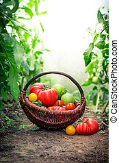 Fresh tomatoes on ground