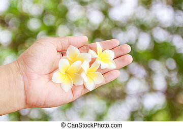 tropical Plumeria flower in hand holding with blurred green bokeh background