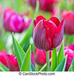 Fresh tulips in garden beautiful