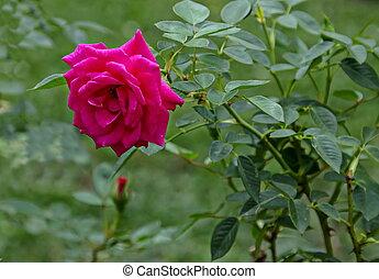 Fresh twig of pink rose bloom flower in the garden