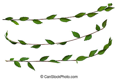 Fresh twigs with green leaves