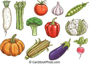 Vegetable sketch with isolated icons of tomato, bell pepper, garlic, eggplant, broccoli, corn, radish, pumpkin, green pea, asparagus, cauliflower. Agriculture, food theme design