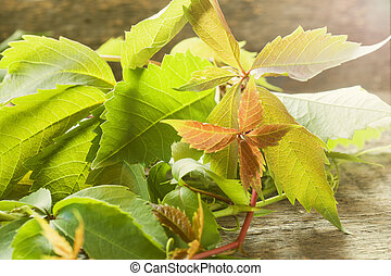 Fresh vine leaves on a wooden background in the sun.