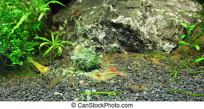 fresh water shrimps - underwater scenery including some...