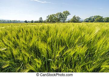 Fresh wheat field
