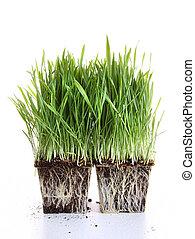Fresh wheat grass on white