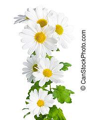 fresh white chrysanthemum like chamomiles is isolated on...