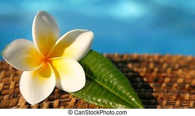 Fresh white frangipani plumeria tropical exotic flowers over blue swimming pool water