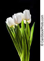 Fresh white tulips on black background