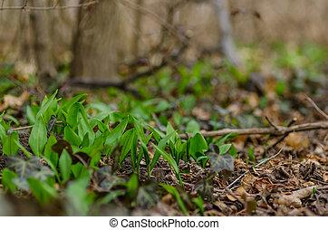 fresh wild garlic in the forest - green fresh wild garlic in...