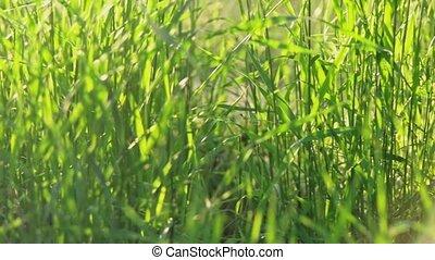 Fresh wild grass ground level shot in slow motion - Fresh...