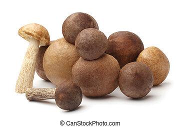 Fresh wild mushrooms (Leccinum scabrum)