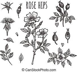 Fresh wild rose hip botanical set - Vector illustration of ...