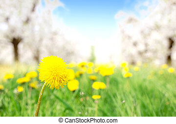 Fresh yellow dandelion in the orchard