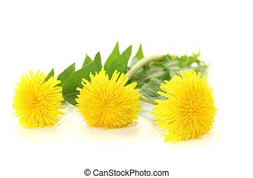 fresh yellow Dandelions on a light background