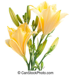 fresh yellow daylilies isolated on white background