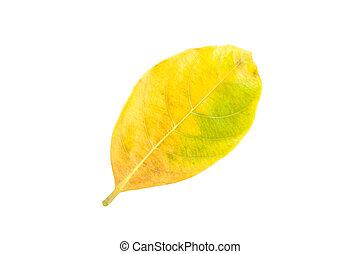 Fresh yellow leaf isolated on white background