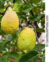 fresh yellow lemons on tree