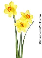 Fresh yellow narcissus isolated on white background
