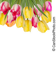 Fresh yellow, pink tulips on white. EPS 8
