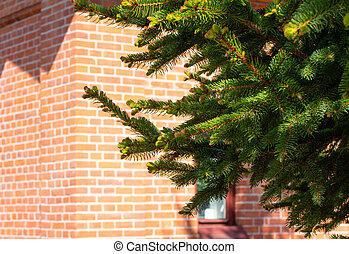 Fresh young coniferous shoots on the branches of the tree on the background of a red brick building . Fresh greenery in the rays of the spring sun.