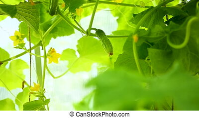 fresh young cucumbers growing