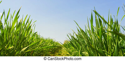 fresh young grass panoramic viev copy space - Juicy fresh ...